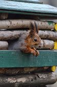 picture of trough  - Red squirrel peeking out of the window a feeding trough in the city park - JPG