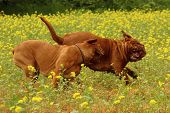 image of dogue de bordeaux  - French mastiff - Dogue de Bordeaux - Puppy play game