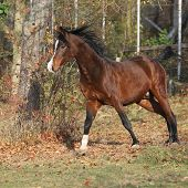 pic of stallion  - Brown arabian stallion running in paddock with trees - JPG