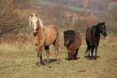 image of running horse  - Batch of horses running in autumn together - JPG