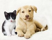 pic of puppy kitten  - kitten and puppy on a white veil - JPG