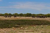 picture of herd  - Herd of elephants from Etosha National Park Namibia - JPG