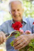 stock photo of geranium  - Elderly man pruning geraniums - JPG