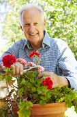 stock photo of prunes  - Elderly man pruning geraniums - JPG