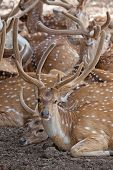 picture of zoo  - herd of spotty deer in a zoo - JPG
