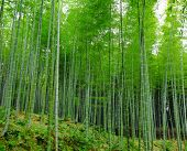 foto of bamboo forest  - Bamboo forest - JPG