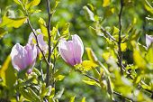 foto of magnolia  - pink magnolia blossoms in the botanical garden in kiev - JPG