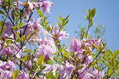 image of magnolia  - pink magnolia blossoms in the botanical garden in kiev - JPG