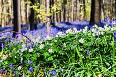 foto of windflowers  - Spring forest covered with bluebells and anemones flowers - JPG