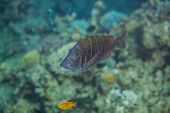 foto of emperor  - Lethrinus mahsena - sky emperor, mahsena imperor swimming in red sea