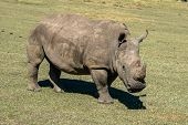 stock photo of rhino  - A rhino in a conservation park i South Africa - JPG