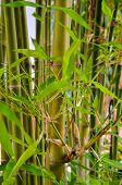 picture of bamboo leaves  - fresh green leaf of bamboo forest background - JPG