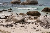 picture of jackass  - Penguins on a rocky beach in South Africa  - JPG