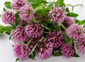 foto of red clover  - A bunch of red clover flowers ready to be dried to make tea.