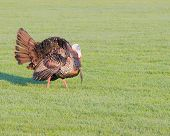 image of wild turkey  - Wild turkey strutting for a mate in the spring mating season - JPG