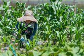 stock photo of japanese woman  - An elderly Japanese woman working in her field growing corn - JPG