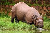 Rhino Bathing In River