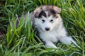 foto of husky sled dog breeds  - cute puppy of alaskan malamute dog in the grass - JPG