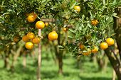 picture of tangerine-tree  - Closeup fresh orange on plant - JPG