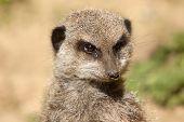 foto of meerkats  - photo portrait of a cute alert meerkat - JPG