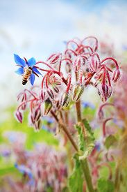 picture of borage  - A bee sucking nectar from flower blue borage - JPG