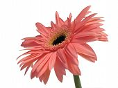 Pink Gerbera Daisy 1