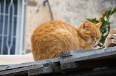 Ginger cat on tile roof.