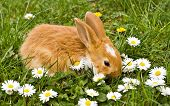 Brown little rabbit with daisies on green meadow
