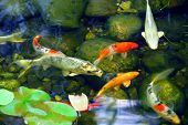 image of koi fish  - koi fish in a natural stone pond - JPG