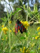 Five-Spotted Burnet