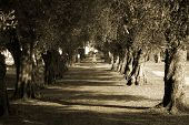 stock photo of olive trees  - avenue of olive trees with nun crossing in the distance - JPG