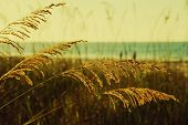 Golden Sea Oats