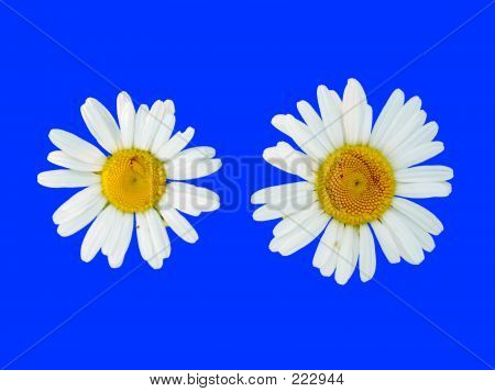 Picture or Photo of Two camomilies on blue background