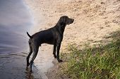Young German Short Haired Pointer Standing On The River Bank