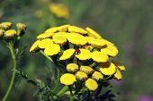 Tanacetum Vulgare And Ladybug
