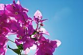 Bougainvillea And Sky