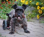 picture of dog-walker  - Dog in wheelchair looking at camera with flowers behind him - JPG