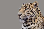 Isolated portrait of Leopard