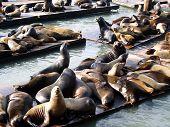 Seals At Pier In San Francisco