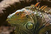 Lizard Tupinambis