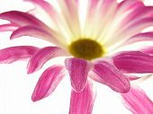 Pink Aster
