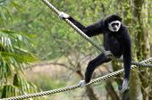 White-handed gibbon on ropes