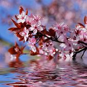 Decorative cherry tree blossoms