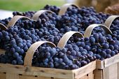 Baskets full of Concord grapes in row