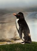 Close Up Of Southern Rockhopper Penguin (eudyptes Chrysocome) Standing On A Coastline, Falkland Isla poster
