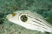 Striped Puffer in Lembeh Straits