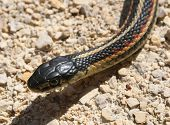 Head of a Red Sided Garter Snake