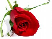 image of single woman  - beautiful single red rose isolated on white background - JPG