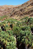 Palmenoase Baum