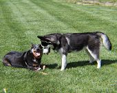 Husky and Blue Heeler Playing
